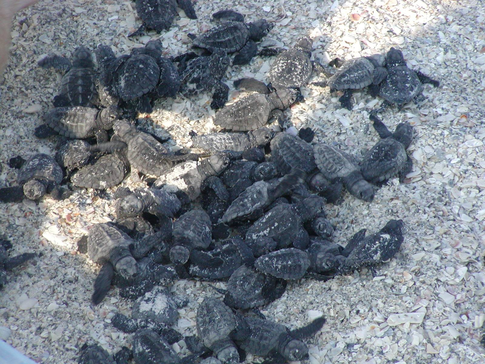 kemps ridley sea turtle hatchlings