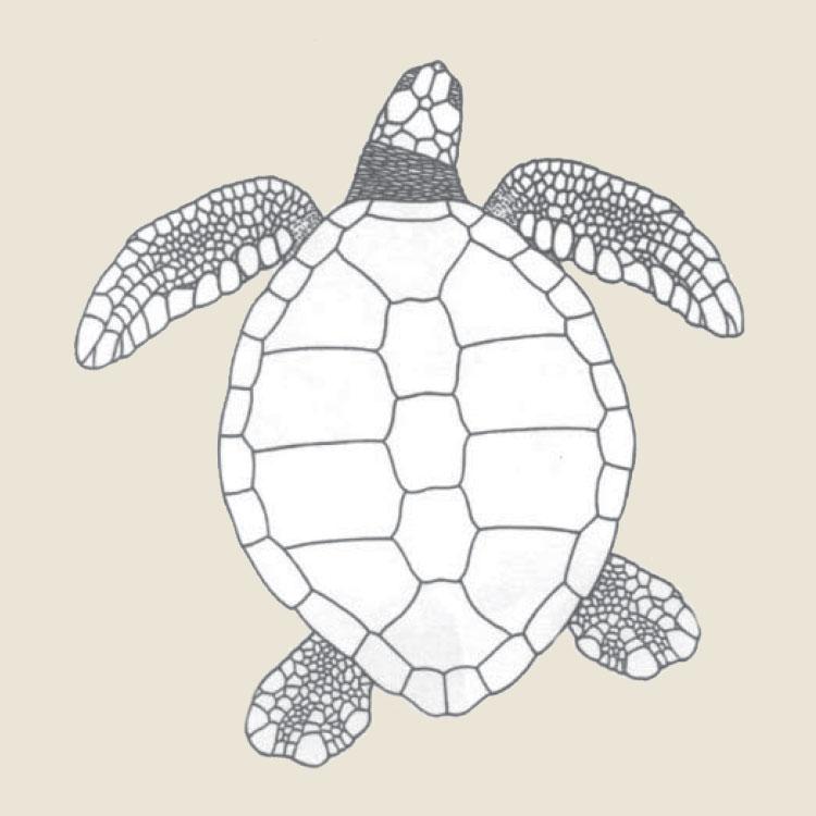 green turtle drawling